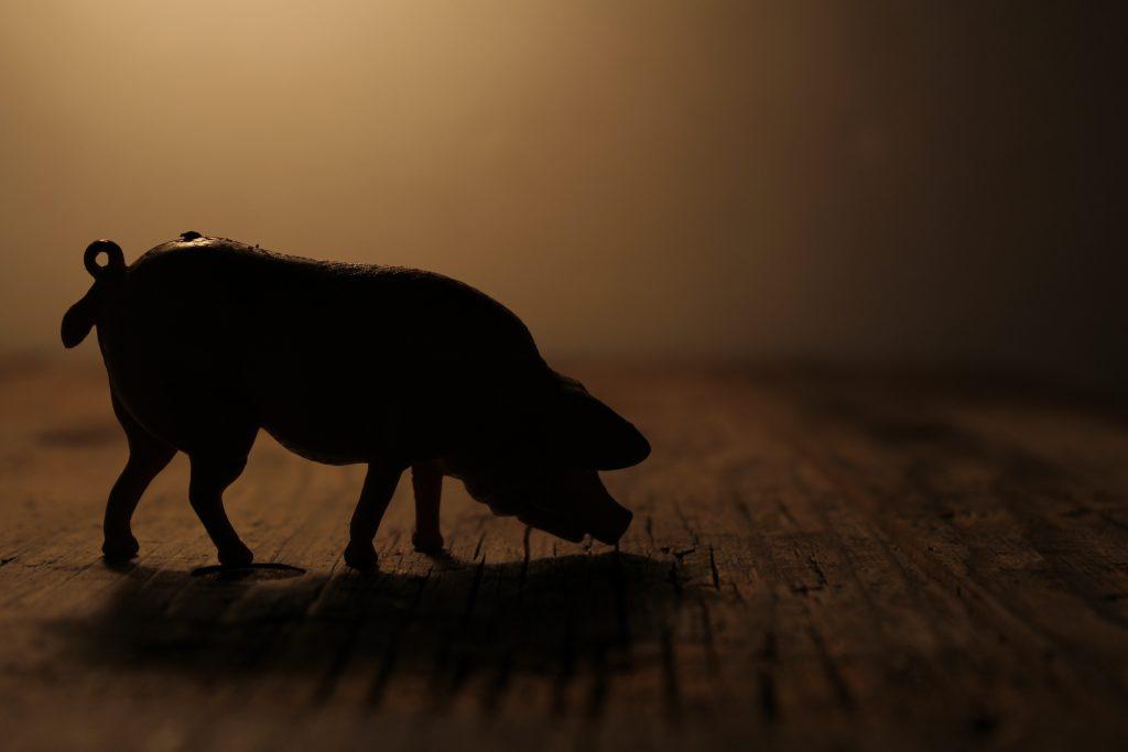Fotografie: silhouette varken